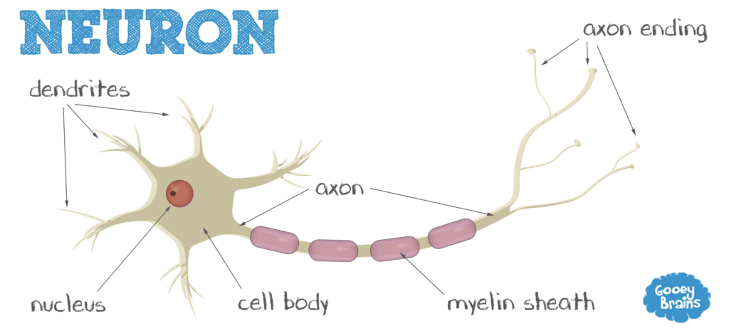 neuron and correct answer To hook students i show students a video (below) that introduces them to both the structure and function of a neuron students answer the following questions as they watch the video.