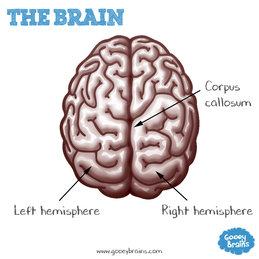 the hemispheres for any brain